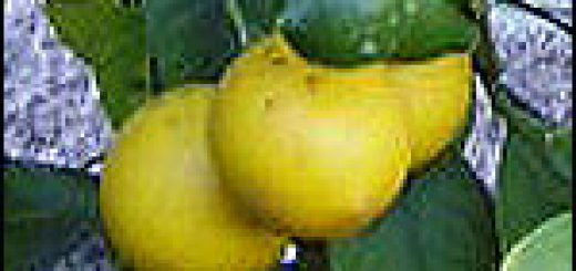 Bibliocook.com - Lemons in our NZ garden, 2005