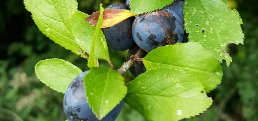 Bibliocook,com - wild damson plums