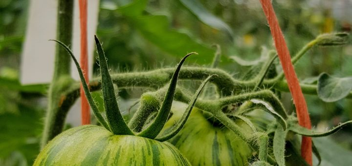 Bibliocook.com - Ballymaloe Cookery School 2017 - green zebra tomatoes