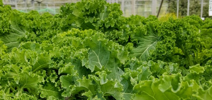 Bibliocook.com - Ballymaloe Cookery School 2017 - kale in the greenhouse