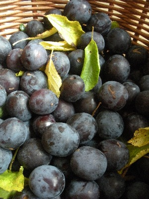 Wild Irish damsons, picked by the riverside
