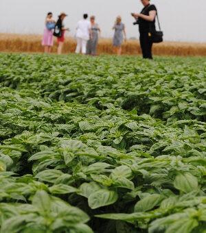 Sacla Irish food bloggers and journalists at basil fields on Amateis farm, Alessandria